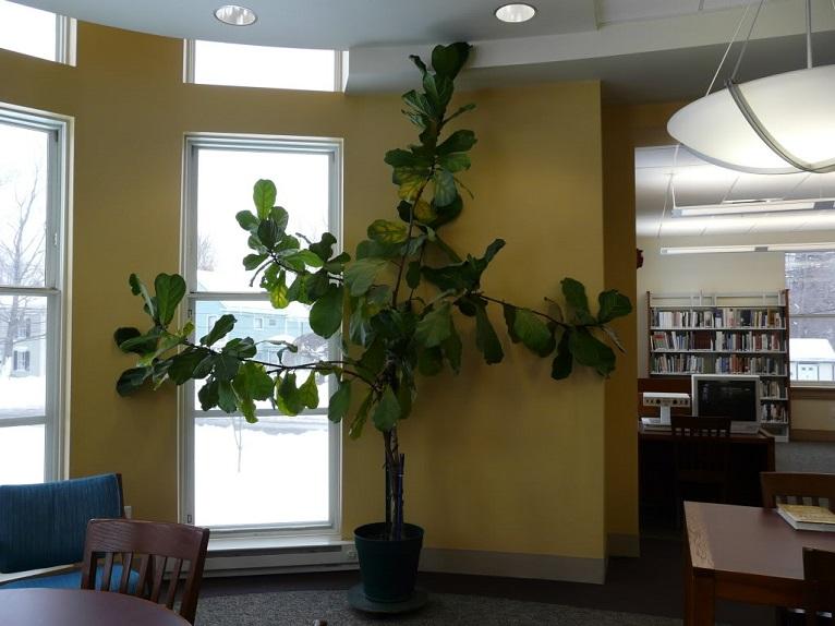 cây bàng singapoe đặt trong nhà