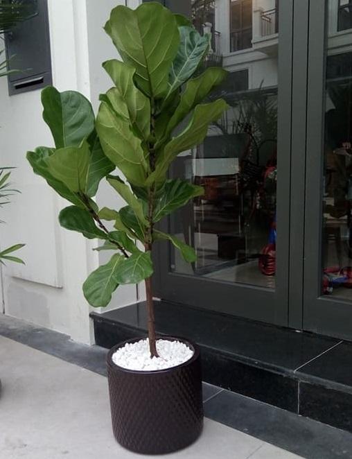 cây bàng singapore 3 nhánh